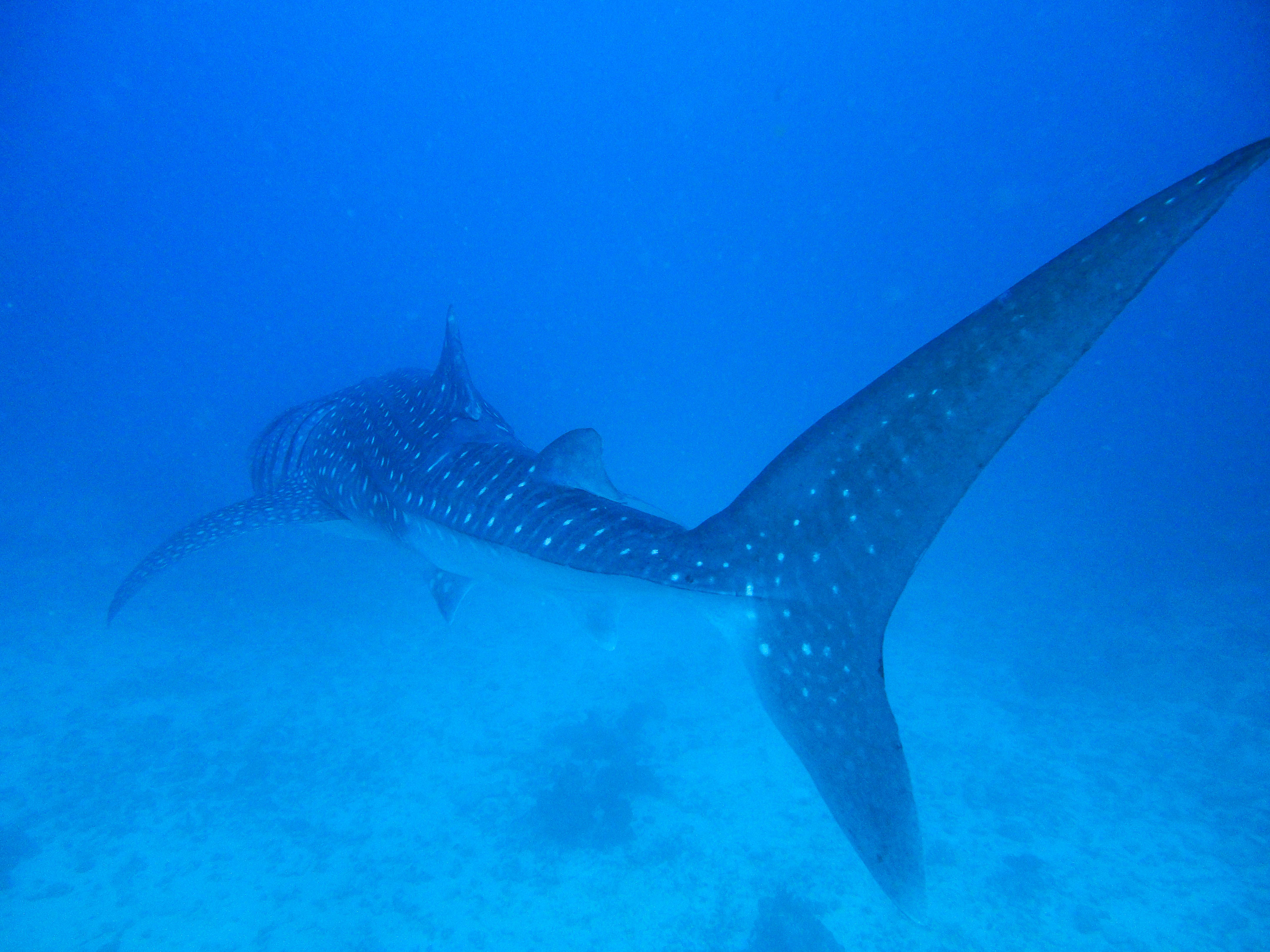 Lacabana Maldives  A DhMaamigili Island Whale Shark (6)