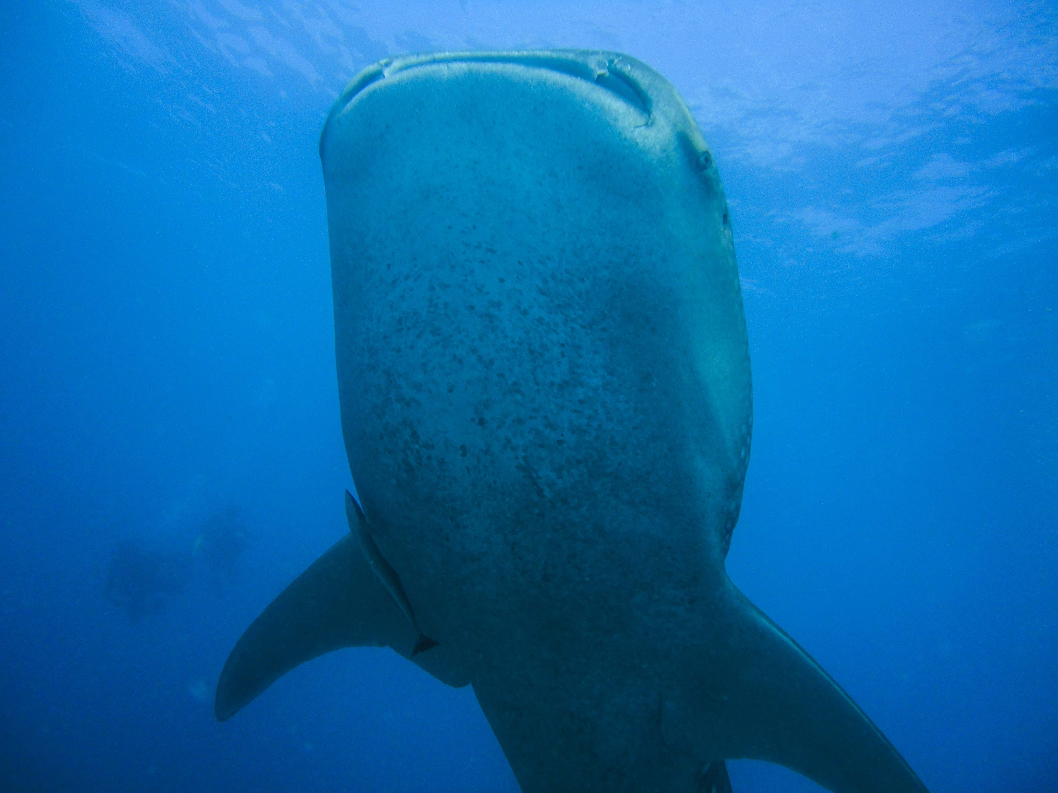 Lacabana Maldives  A DhMaamigili Island Whale Shark (2)