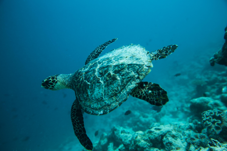 Lacabana Maldives  A DhMaamigili Island Snorkling (10)