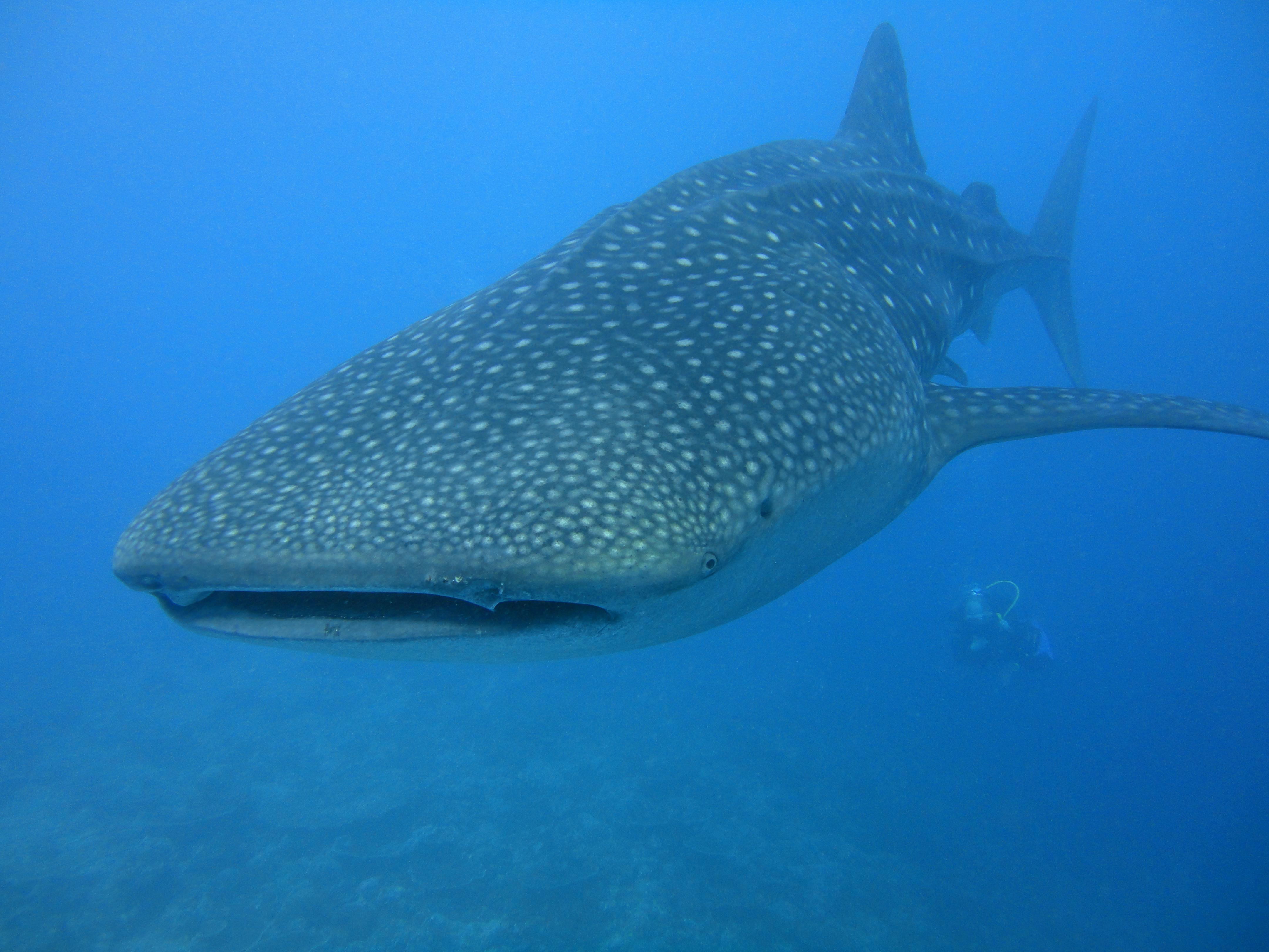Lacabana Maldives  A DhMaamigili Island Whale Shark (10)