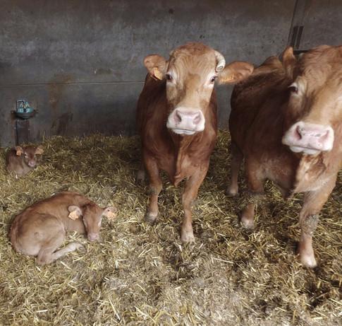 Vaches et Veau