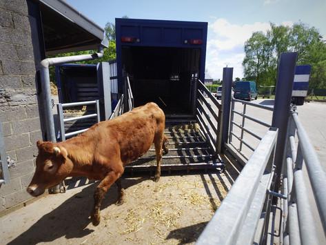 Déchargement de vache