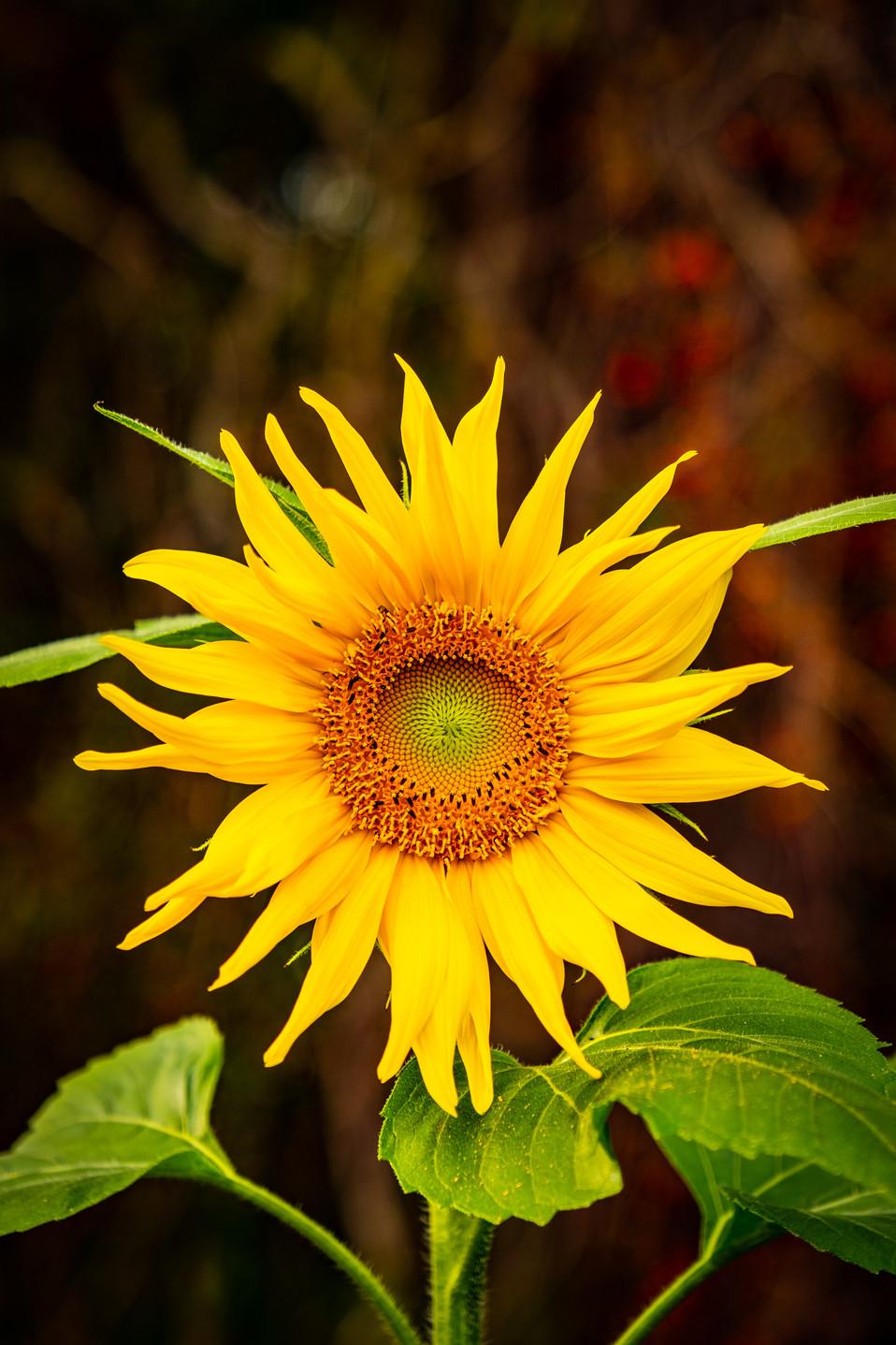 Sunflowers-2.jpg
