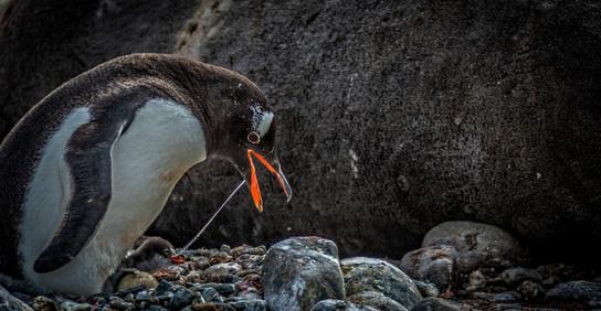 Gentoo penguins, South Georgia Island