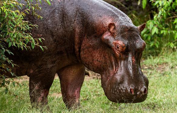 Hippotamus, Kenya