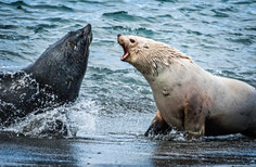 White fur seal, South Georgia Island