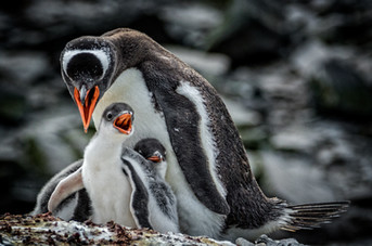 Gentoo penquins, South Georgia Island
