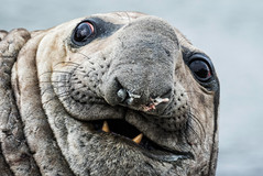 Male Elephant seal, South Georgia Island