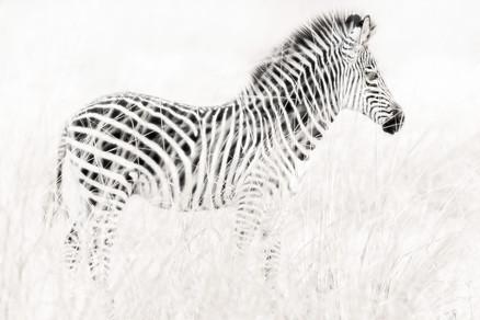Zebra, Zambia
