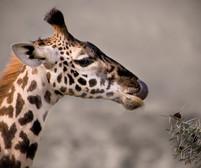 Masaai Giraffe, Tanzania