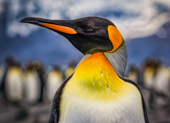 King penguin, South Georgia Island