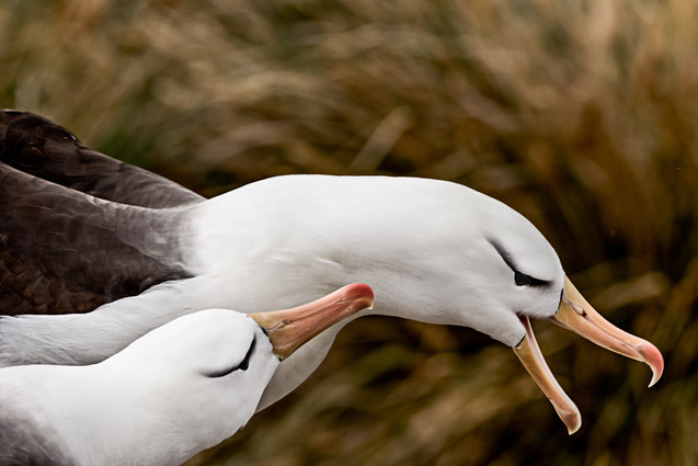 Black-browed albatross, Falklands