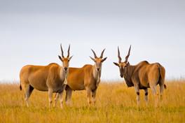 Eland, Kenya