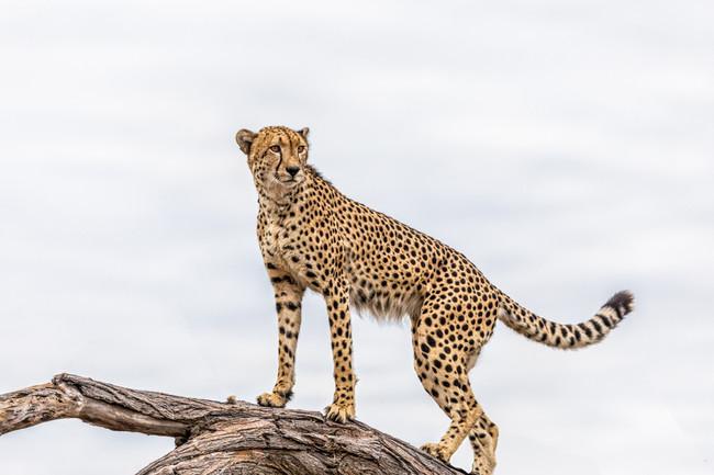 Cheetah, Hwange, Zimbabwe