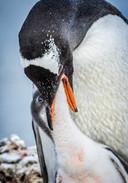 Gentoo penguins, South Georgia Islands