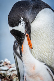 Gentoo penguins, South Georgia Islands