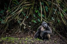 Chimpanzee, Republic of Congo