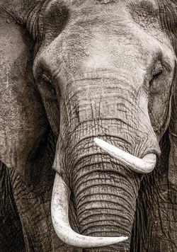 Elephants Forever