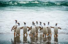 Gentoo penguins, Falklands