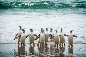 Gentoo penguins, Falklands