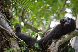 Western Lowland Gorilla, ROC