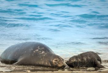 Elephant seals, South Georgia Island
