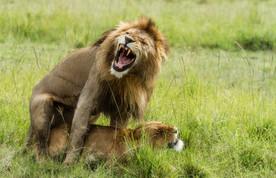 Lions, Kenya