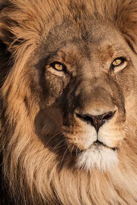 Lion, Namibia