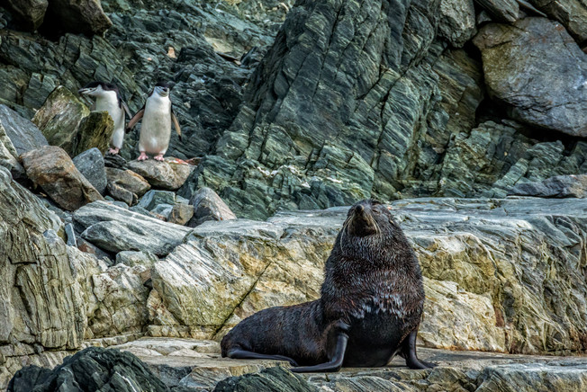 Fur seal, Antarctica