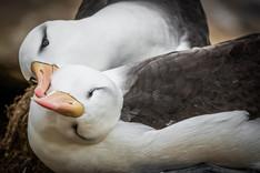 Black-browed albatross, Falklands