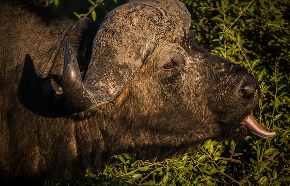 Cape Buffalo, South Africa