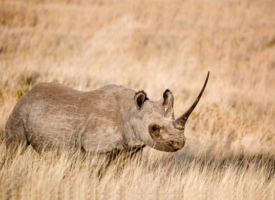 Black Rhino, Kenya