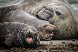 Elephant seals, South Georgia Island