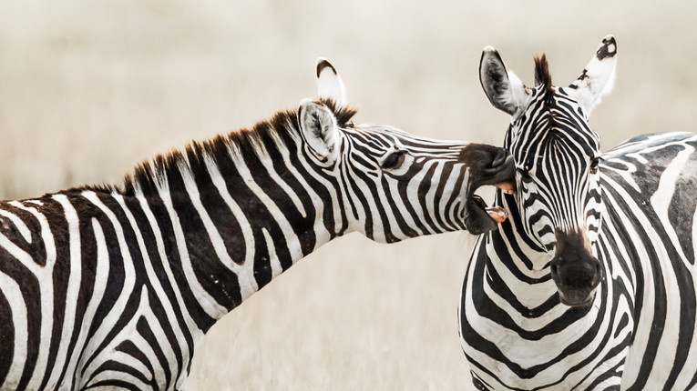 Zebra, Kenya