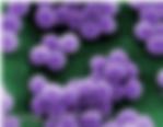 staphylococcus aureus.png