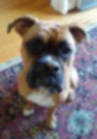 Grady the boxer puppy