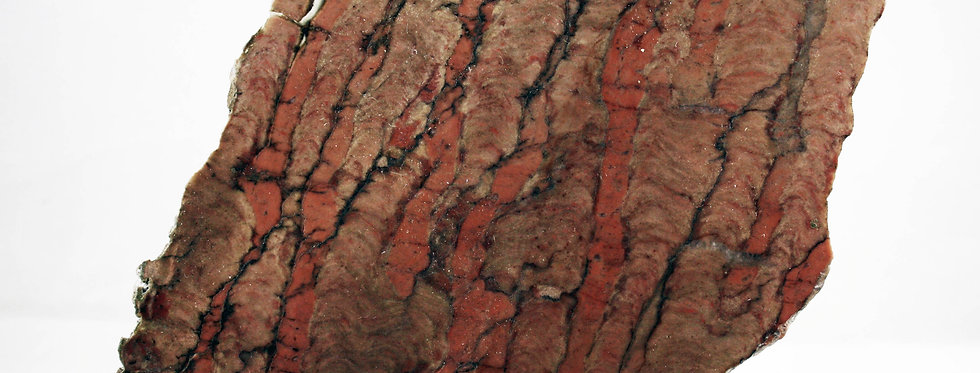 Parallelophyton raigubicum (Mak)
