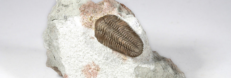 Pliomera fischeri (Eichwald, 1825)