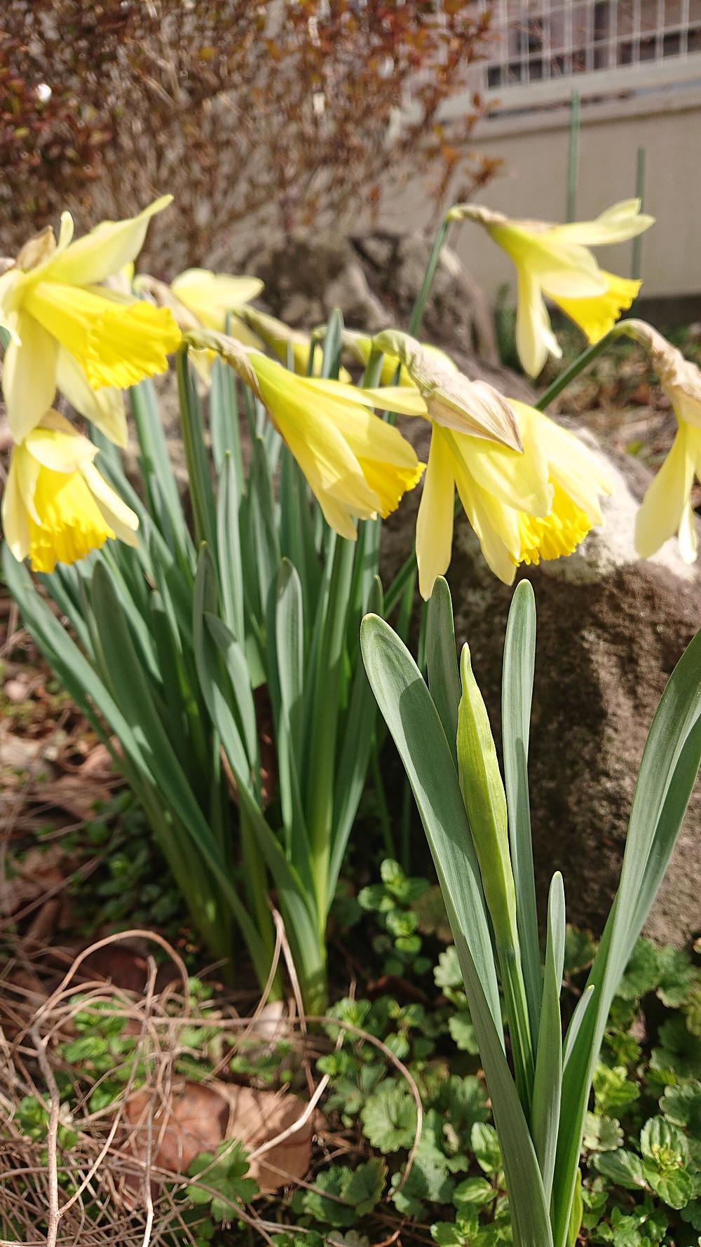 仙台、くびれ、女性専門整体院、水仙が咲きました