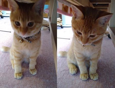 ひろこの整体療術院のトラ猫ちゃん