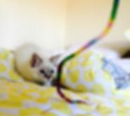 chocolate balinese cat