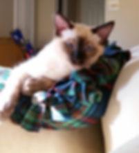 seal balinese cat