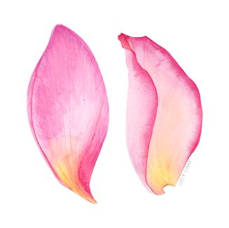 lorincinar_pink_petals_botanical_waterco