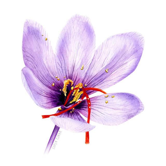 lorincinar_botanical_painting_saffron.jp