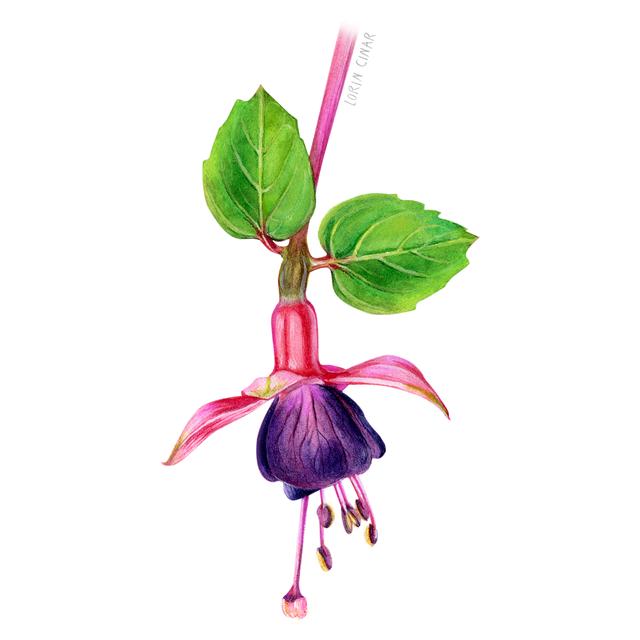lorincinar_fuchsia_botanical_watercolor.