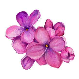 lorincinar_lilac_flower_illustration.jpg