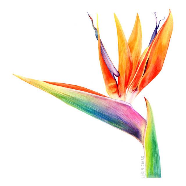 lorincinar_botanical_painting_bird_of_pa