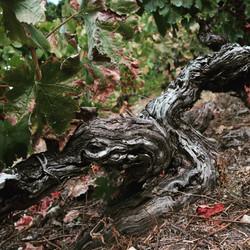 Quinta das Lamelas - Douro - Vine - Vineyard - Old vines
