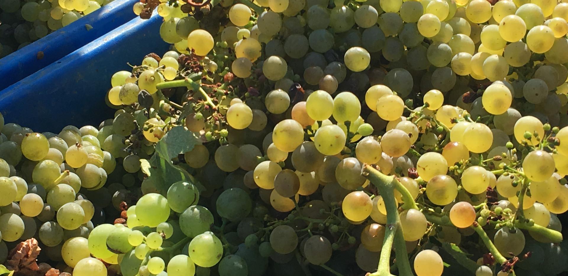 Quinta das Lamelas - Douro - White grape - casta branca