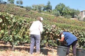 Quinta das Lamelas - Vindima Harvest